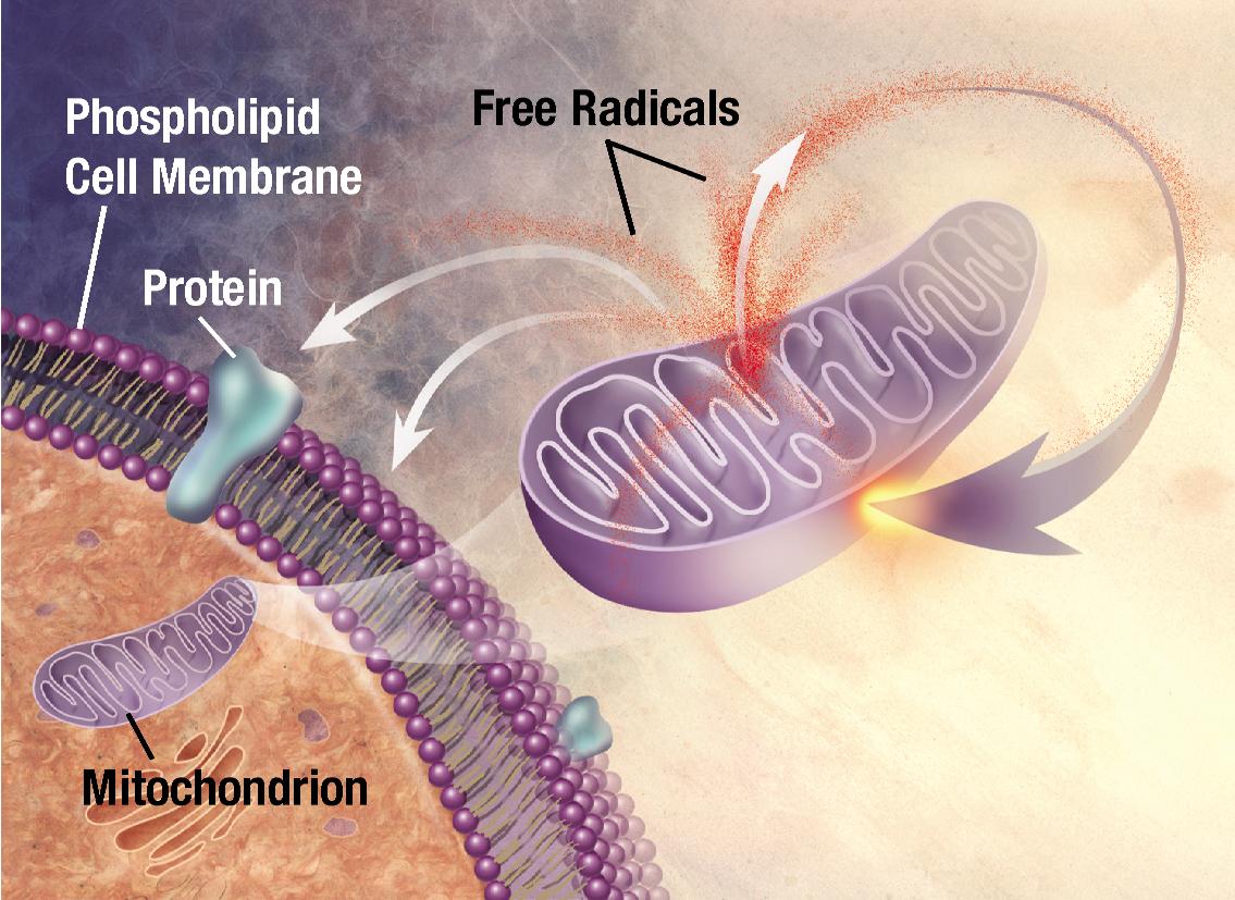 Ελεύθερες ρίζες: Πώς απειλούν την υγεία μας;