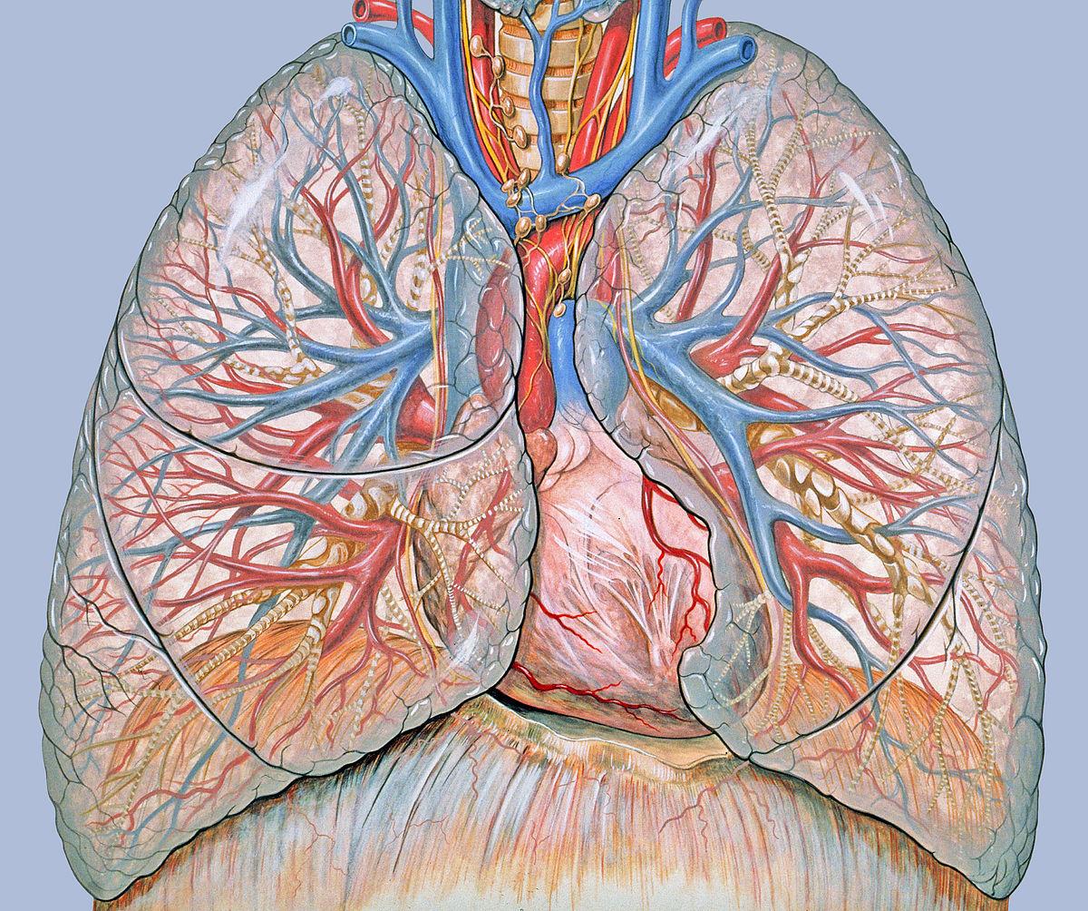 Οι πνεύμονες είναι και αιμοποιητικά όργανα