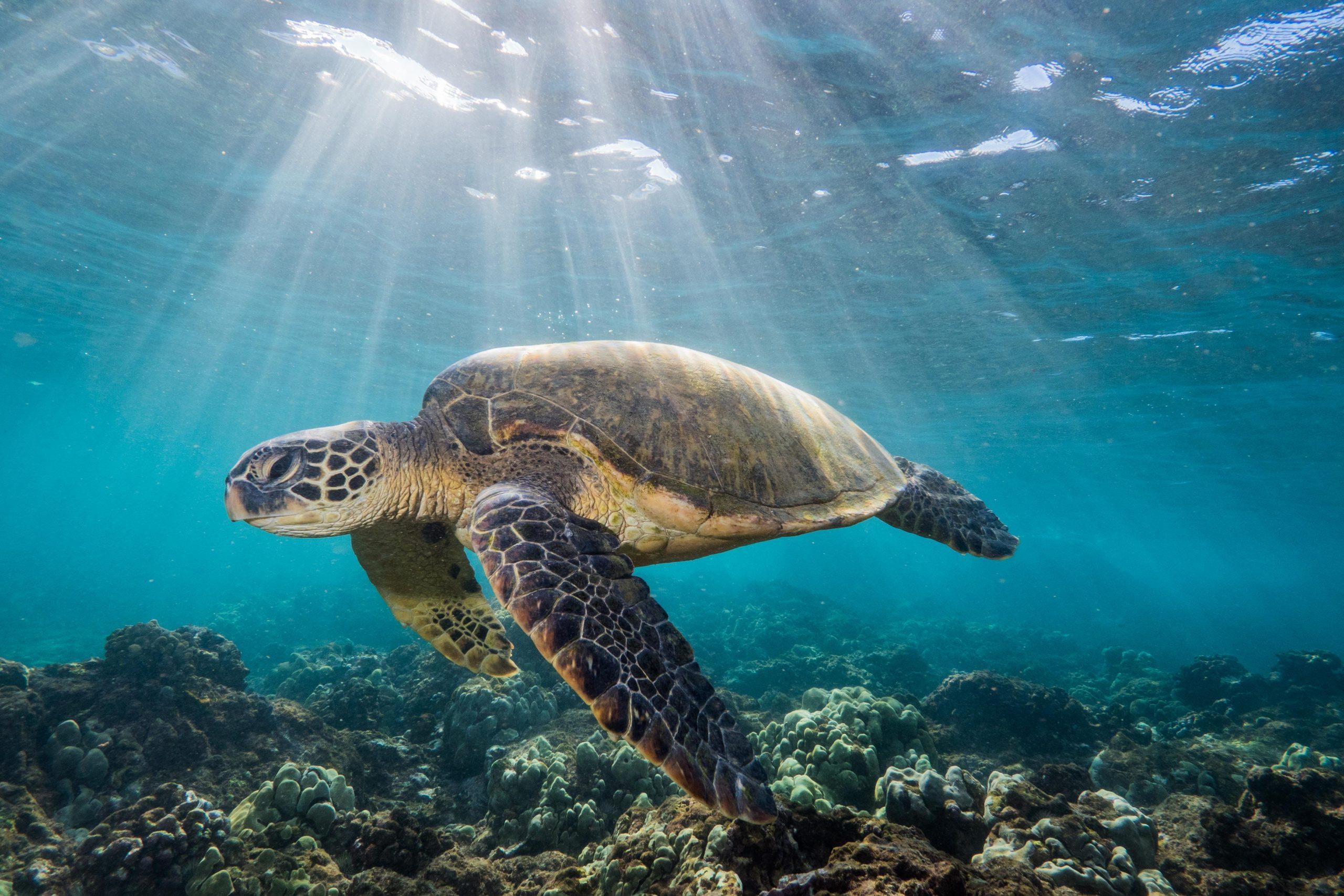 Ο καθοριστικός ρόλος της θαλάσσιας χελώνας στα νερά των ωκεανών