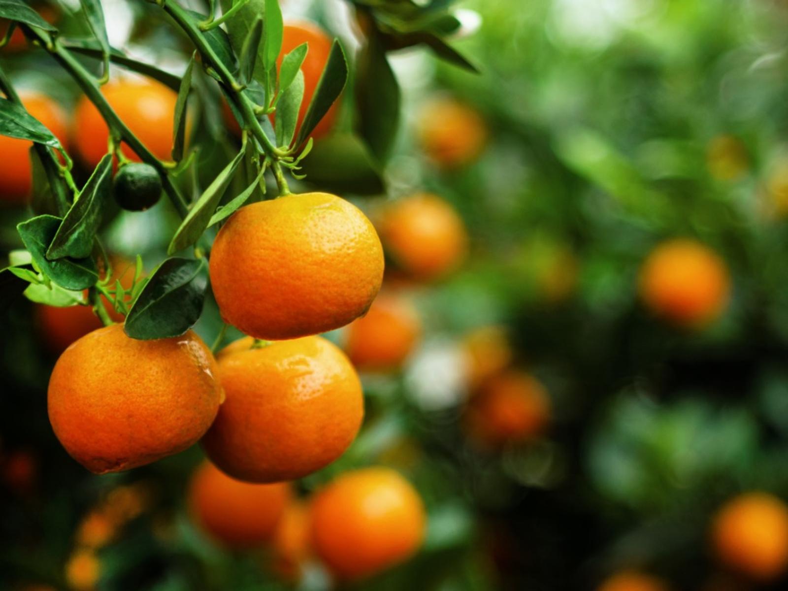 Μανταρίνια: Ποιες είναι οι διαφορές τους με τα πορτοκάλια