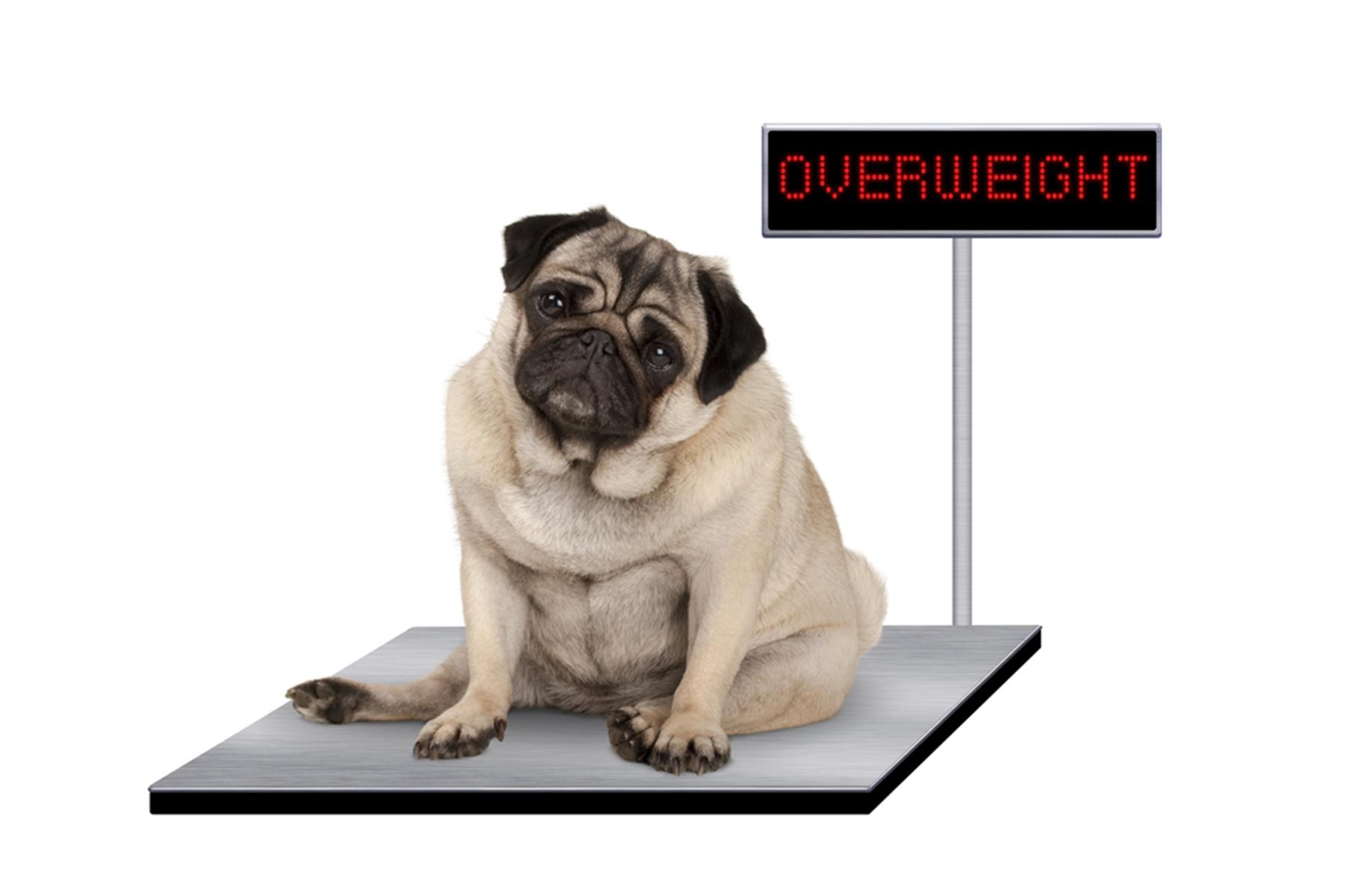 Προσδόκιμο ζωής : Διατηρήστε το βάρος του κατοικιδίου σας και κάντε το να ζήσει περισσότερο