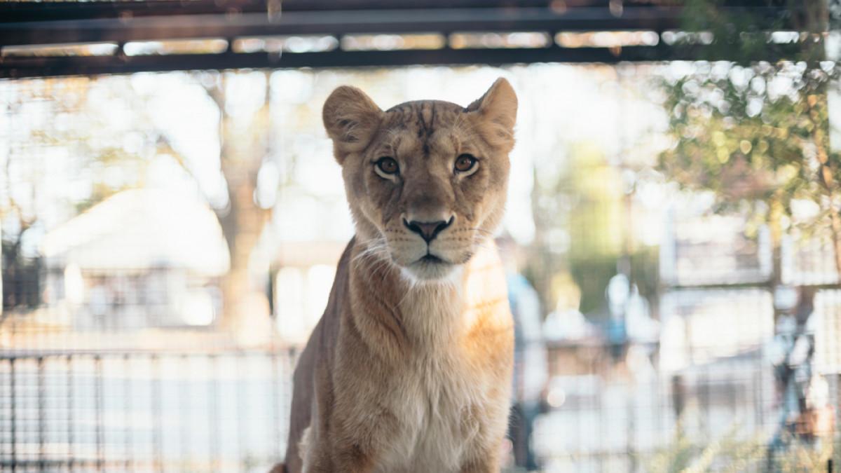 Ινδία: Λιονταρίνα πέθανε από Covid-19 σε ζωολογικό κήπο